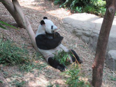 パンダのKAI
