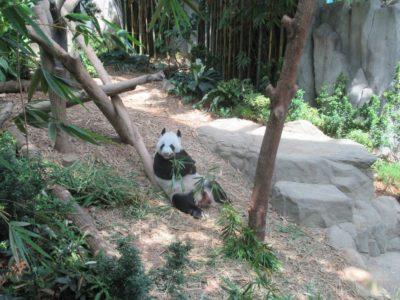 パンダのKAIKAI