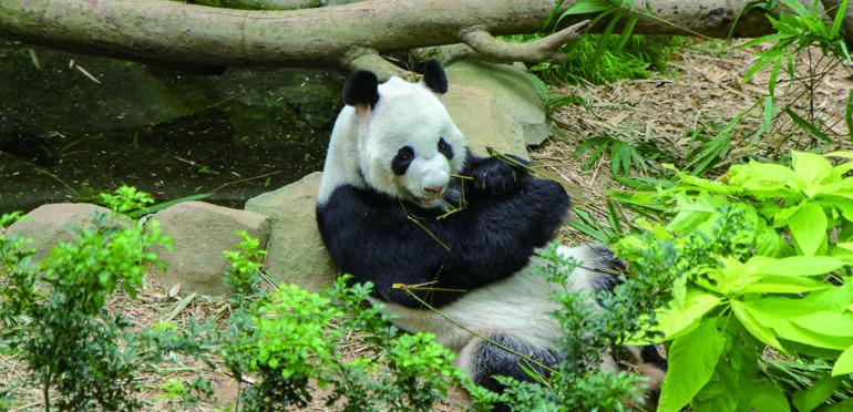 【中国×外交】中国が世界に貸し出すパンダ。その背景にある外交的な思惑